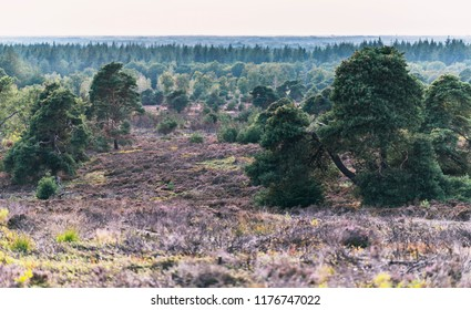 Hilly moorland with blooming heather and pine trees.