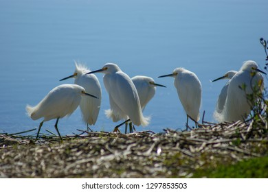 Hilton Head Island host two egret the great and the snowy. Both are all white .The great has a yellow bill and black legs, and the snowy egret has a black bill and black legs with bright yellow feet