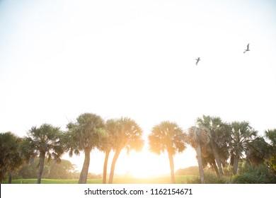 Hilton Head Island, South Carolina / USA - July 2012: Seagulls flying over palmetto trees at sunset on Hilton Head Island, South Carolina.