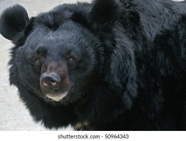 The Himalaya bear