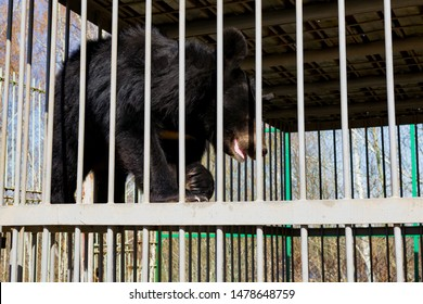 Himalayan bear in a cage. Asiatic black bear in captivity at the zoo. Iron cage. Russia
