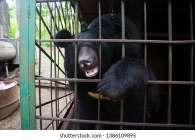 Himalayan bear in an iron cage. The bear looks through the cage with sad eyes. Himalayan bear in captivity.