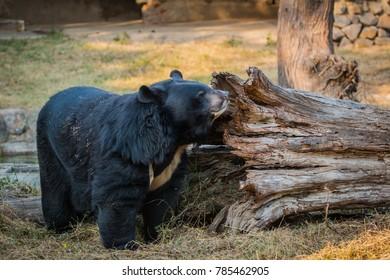 Himalayan Black Bear, National Zoological Park, New Delhi, India