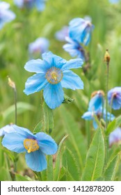 Himalayan blue poppies, Meconopsis in flower