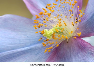 Himalayan Blue Poppy Close Up Horizontal