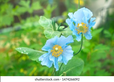Himalayan Blue Poppy Flower (Blue Poppy): Meconopsis Poppy