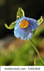 Himalayan blue poppy flower, in naturalized garden