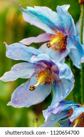 Himalayan blue poppy flower(Meconopsis), in natural garden
