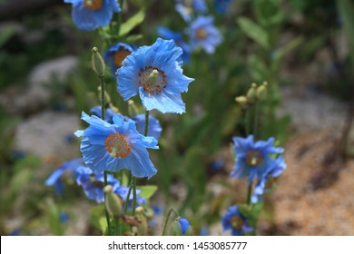 Himalayan blue poppy or Meconopsis betonicifolia flower