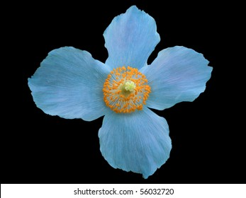 "Himalayan blue poppy ""Meconopsis betonicifolia"" isolated on black"