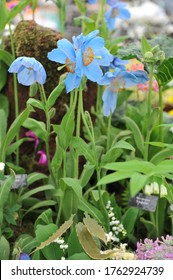 Himalayan blue poppy (Meconopsis) Lingholm flowers on an exhibition in May 2014
