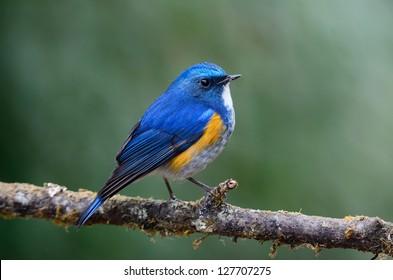Himalayan Bluetail (male) on branch