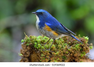 Himalayan bluetail or orange-flanked bush-robin (Tarsiger rufilatus) beautiful blue bird with yellow side feathers standing on the grass ground, exotic nature