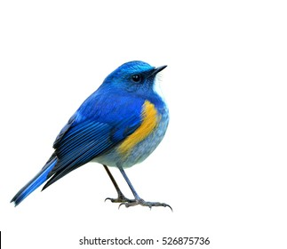 Himalayan bluetail or Orange-flanked Bush-robin (Tarsiger rufilatus) beautiful chubby blue bird fully standing with details from head to toes isolated on white background, ecstasy birds