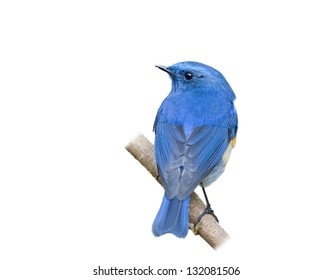 The Himalayan Bluetail or Himalayan Red-flanked Bush-robin (Tarsiger rufilatus) on white background.
