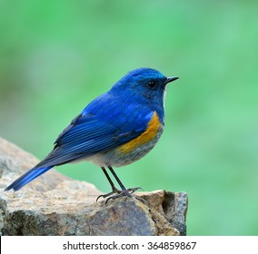Himalayan bluetail or Himalayan red-flanked bush-robin (Tarsiger rufilatus) the beautiful blue bird standing on the rock showing its side feathers profile on nice blur green background