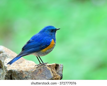 Himalayan Bluetail (tarsiger rufilatus) the beautiful blue bird fully standing on the rock with green blur background