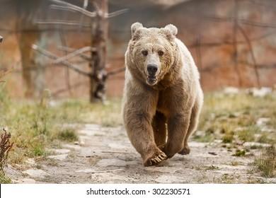 Himalayan brown bear is running
