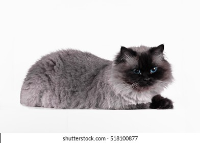 Himalayan cat with a hairstyle sits in a half-turn isolated  in the studio