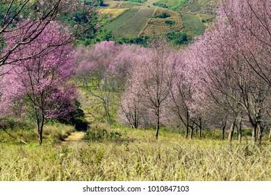 Himalayan Cherry Blossom at Phu Lom Lo, Thailand