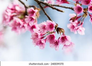 Himalayan Cherry Sakura Thailand(Prunus cerasoides) blooming at Chiang Mai, Thailand