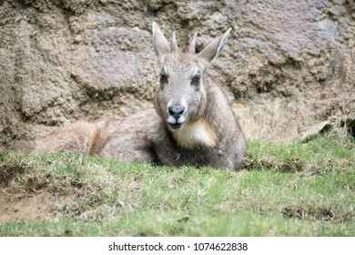 Himalayan Chinese Goral resting in the grass