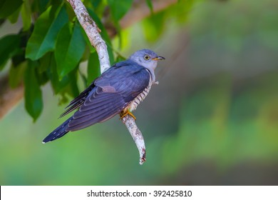 Himalayan Cuckoo(Cuculus saturatus) with clear background on the branch in real nature at Keng Kracharn National Park,Thailand