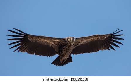 Himalayan griffon vulture (Gyps himalayensis) flying in sky.