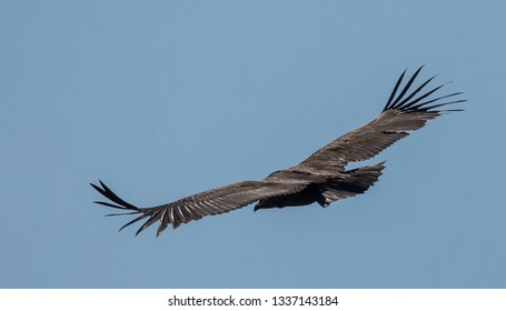 Himalayan griffon vulture (Gyps himalayensis) flying in blue sky.