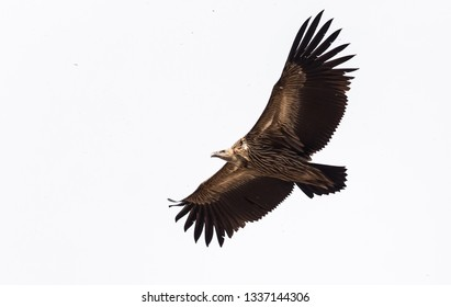Himalayan griffon vulture (Gyps himalayensis) flying on white background.