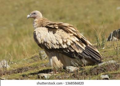 Himalayan Griffon Vulture (Gyps himalayensis) Adult on the Tibetan Plateau, Qinghai Province, China.