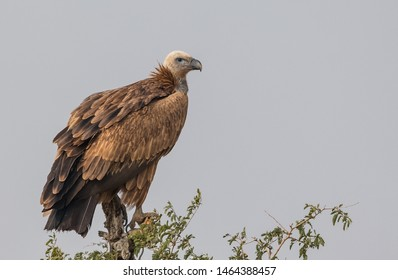 Himalayan Griffon Vulture sitting on the dry perch of the tree at Jorbeer Vulture Sanctuary, Bikaner