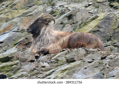 Himalayan tahr(Hemitragus jemlahicus) on the rock