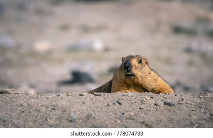 himalayan marmot crawling from the nest in a hole underground beside road to Pangong lake in Ladakh region state of Jammu and Kashmir in north of India looking forward during beautiful sunny day