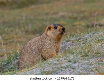 A Himalayan Marmot emerging from burrow in Ladakh, India