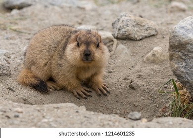 Himalayan Marmot (Latin : Marmota Himalayana) is a mammal living near Pangong Tso lake in Ladakh, India. Marmots are large squirrels live under the ground and hibernate there through the winter