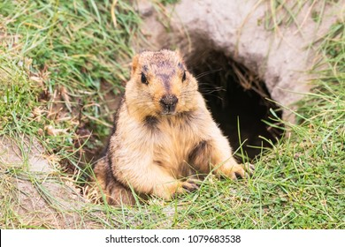 Himalayan Marmot is a mammal living near Tso Moriri lake in Ladakh, India. Marmots are large squirrels live under the ground and hibernate there through the winter.