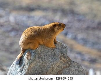 Himalayan Marmot resting on isolated rock, in ladakh, India