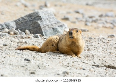 Himalayan Marmot shows its teeth near Tso Moriri lake in Ladakh, India., Marmots are large squirrels live under the ground and hibernate there through the winter.