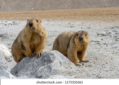 Himalayan Marmot shows its teeth near Tso pangong lake in Ladakh, India., Marmots are large squirrels live under the ground and hibernate there through the winter.