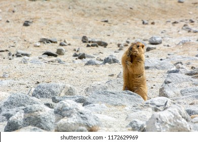 Himalayan marmot standing and eating in open field , ladakh wildlife, India Marmots are large squirrels live under the ground and hibernate there through the winter.