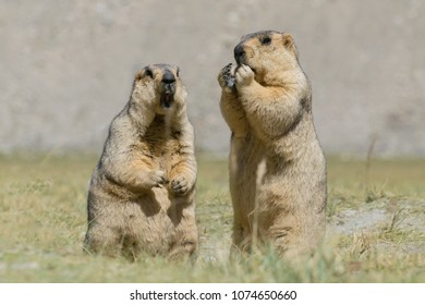 Himalayan marmots -Marmota himalayana, pair standing and eating in open field , ladakh wildlife, Jammu and Kashmir, India