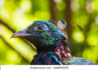 The Himalayan monal is a bird in the pheasant family, Phasianidae. It is the national bird of Nepal, where it is known as the danphe, and state bird of Uttarakhand, India, large-sized pheasant.