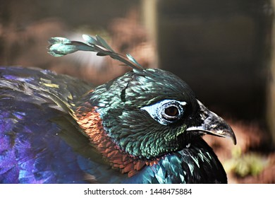 The Himalayan Monal (Lophophorus Impejanus), also known as the Impeyan Monal and Impeyan Pheasant, is a bird in the pheasant family, Phasianidae.