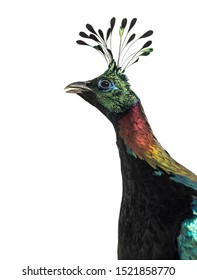 Himalayan monal, Lophophorus impejanus, also known as the Impeyan monal and Impeyan pheasant against white background