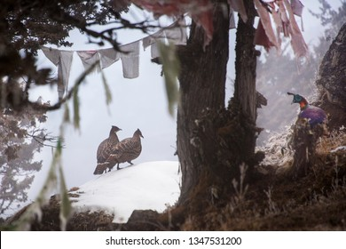 Himalayan monal (Lophophorus impejanus) male and female in Himalayan mountain winter with prayer flags