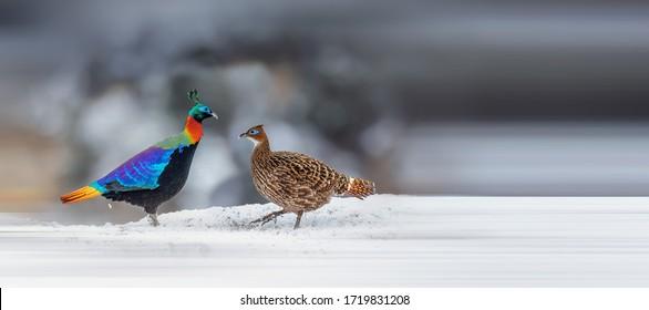 Himalayan monal, the national bird of Nepal