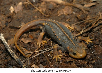 Himalayan Newt Tylototriton Verrucosus