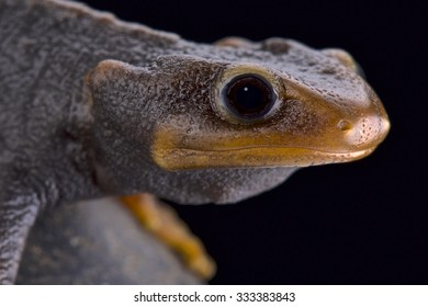 Himalayan newt (Tylototriton verrucosus)