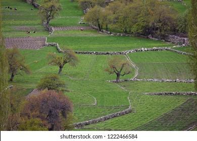 Himalayan oasis - gardens with apricot trees and poplars among barley fields in Turtuk village, Ladakh, Jammu & Kashmir, India